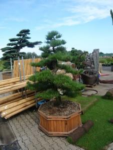 Auch Gartenbonsai eignen sich ideal als Kübelpflanzen - hier mit einem edlen Holzkübel