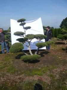 Gartenbonsai sind ein Trend für Asiengärten in Deutschland